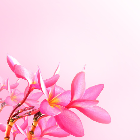 Flower background. Pink plumeria flowers to create a beautiful photo