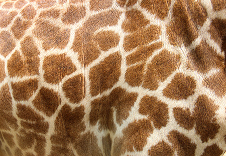 Genuine leather skin of giraffe with light and dark brown spots