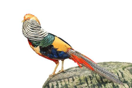 phasianidae: Image of golden pheasant isolated on white background