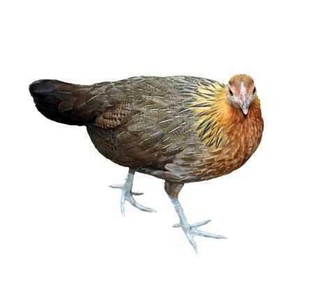 Image of hen isolated on white background photo