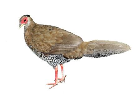 Image of wild fowl isolated on white background photo