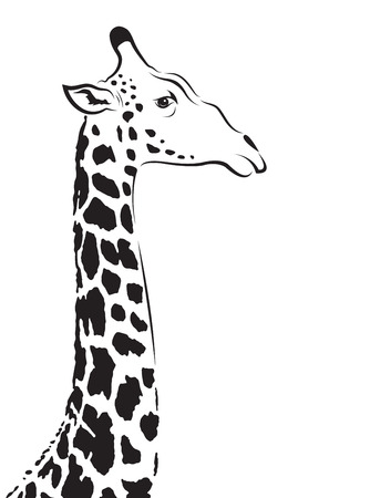 giraffes: Vector image of an giraffe head on white background