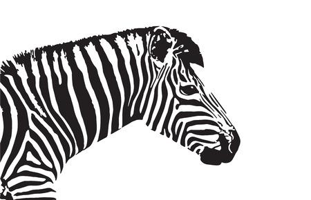 zebra head: zebra head on white background