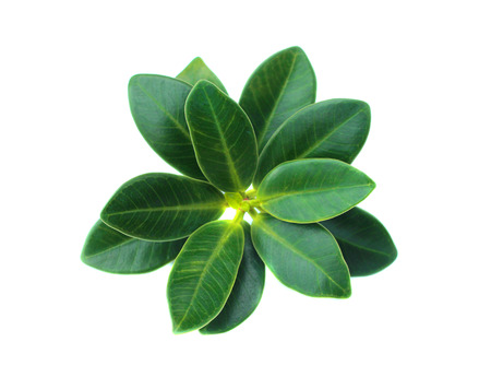 Tea tree: Green leaf isolated on a white background