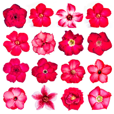 Collection of red flowers isolated on white background. azalea flowers photo