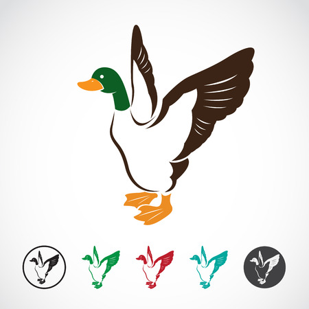 Vector image of an wild duck on white background