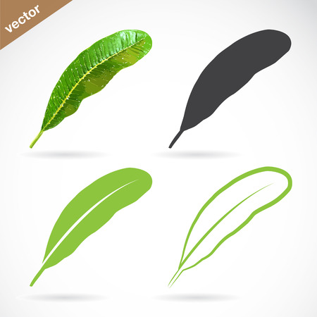 linden tree: Vector image of leaves design on white background Illustration