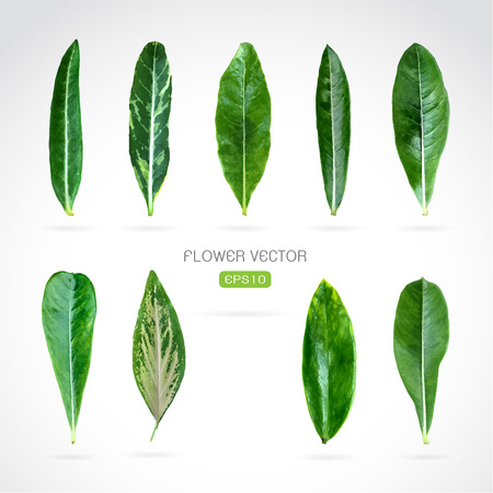 azal�e: image de feuilles sur blanc Illustration