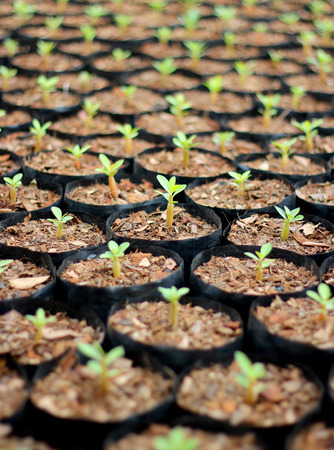 foliage tree: Closeup of small azalea saplings in pots. Stock Photo