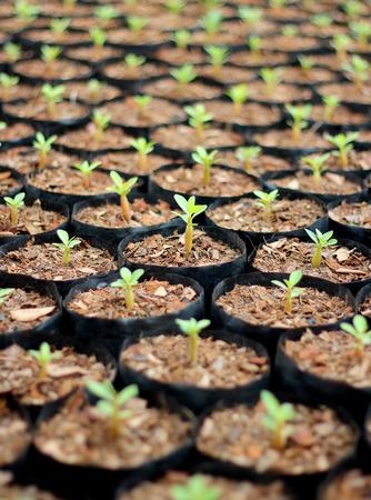 arbol de la vida: Primer plano de peque�os �rboles j�venes de azalea en macetas. Foto de archivo