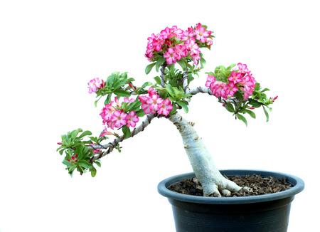 obesum: Azalea trees in pots isolated on white background