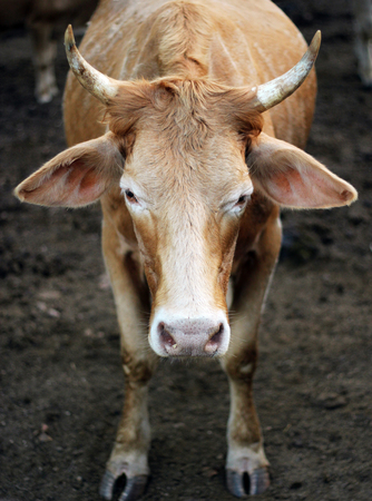 jersey cattle: Cows staring Stock Photo