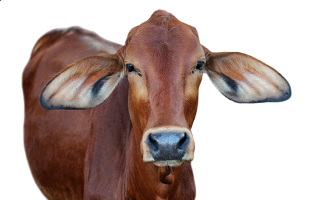 red heifer: Image of red cow isolated on white background. Stock Photo