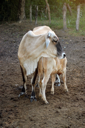 jersey cattle: Cow and calf