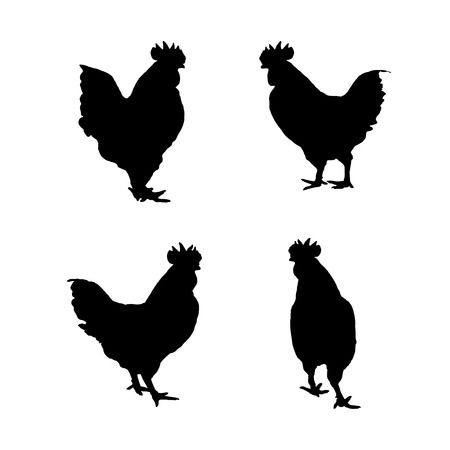 female animal: chicken on a white background.