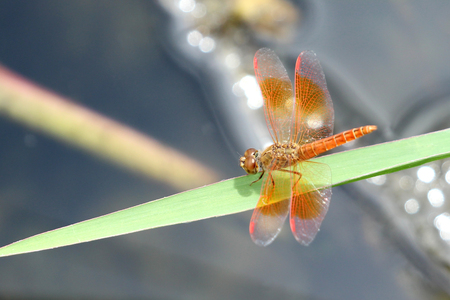 white perch: Image of dragonfly perched on grass green