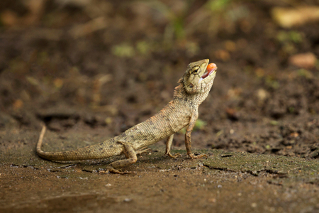 frilled: Image of chameleon on nature background. Lizards on the ground