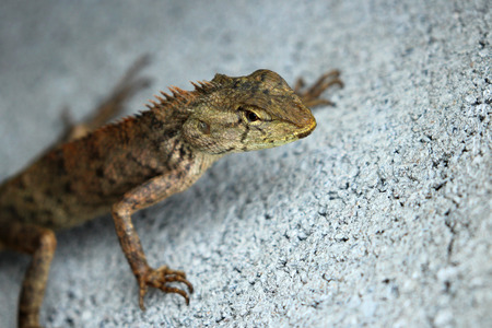 frilled: Image of chameleon on the cement floor