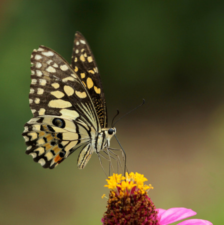 giant sunflower: Beautiful butterfly perched on a flower.