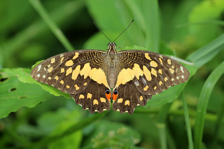 giant sunflower: Beautiful butterfly perched on a green leaf.