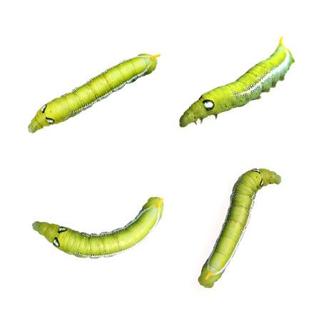 metamorphosis: Image of Green Caterpillar on white background.