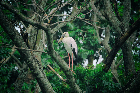 white necked: Image of stork perched on tree branch. - Vintage Filter