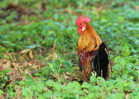 Image of cock in green field.