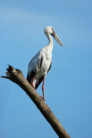 white necked: Image of stork perched on tree branch Stock Photo