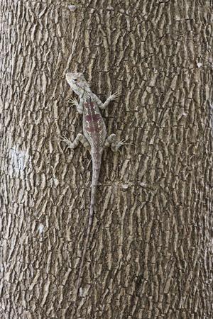 frilled: Image of chameleon on trees. Stock Photo