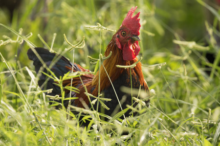 cockrel: Image of a cock in green field.