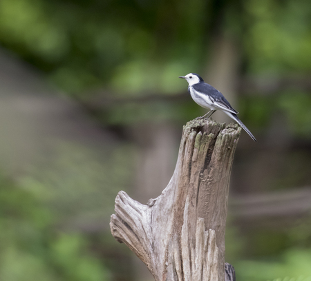 Image of a magpie perched on the branch