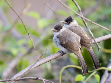 Image of two birds perched on the branch in the wild. Sooty headed bulbul. Stock Photo