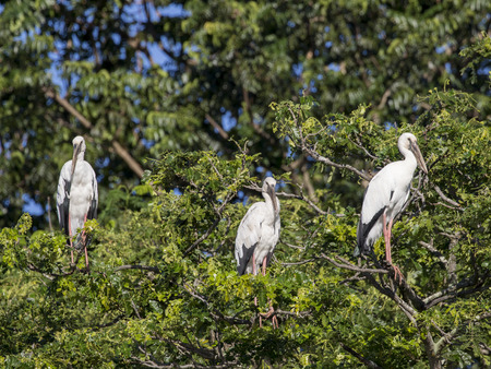 Image of stork perched on tree branch. Stock Photo