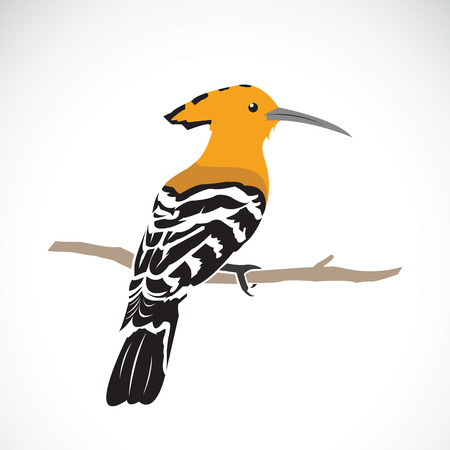 hoopoe on white background
