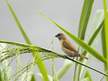 birds on branch: Image of ricebird perched on a green leaf. Stock Photo