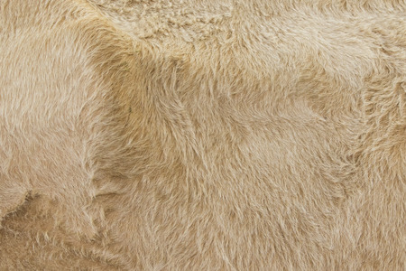 cow skin: Detailed macro picture of cow skin. texture, background.