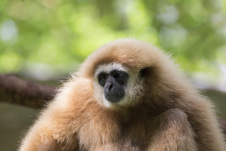 Image of a gibbon on nature background.