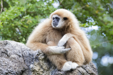 hairy arms: Image of a gibbon sitting on rocks