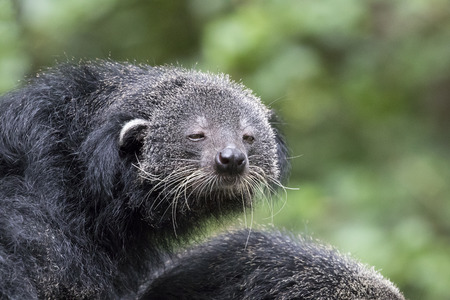 bearcat: Image of a binturong on nature background. Stock Photo