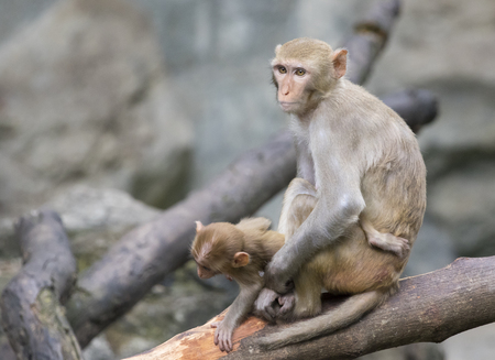 Image of mother monkey and baby monkey sitting on a tree branch. Stock Photo
