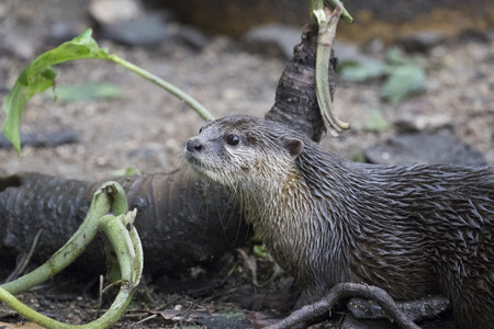 aonyx cinerea: Image of a otter on nature background.