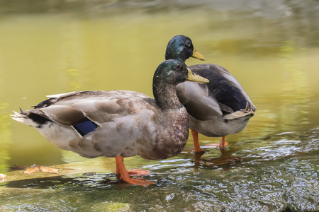 Image of two male mallard ducks (Anas platyrhynchos) standing on the rock. Stock Photo
