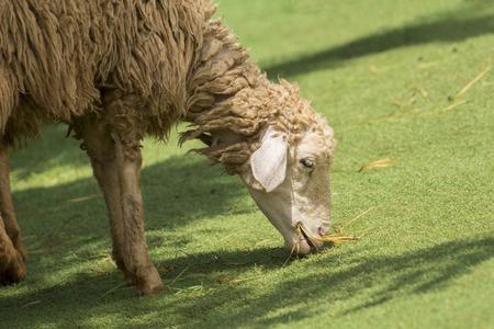 ruminants: Image of a brown sheep munching grass in farm.
