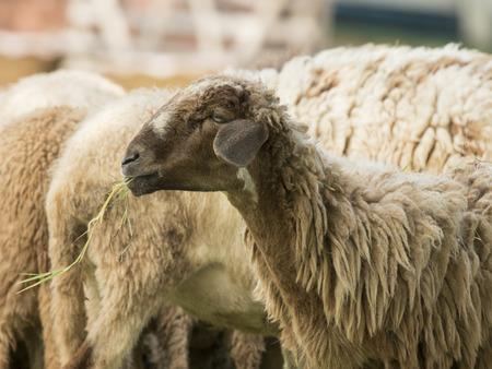 munching: Image of a brown sheep munching grass in farm.