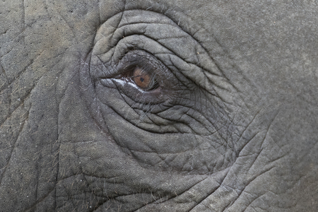 eye close up: Close-up of an asian elephants eye and face in thailand.