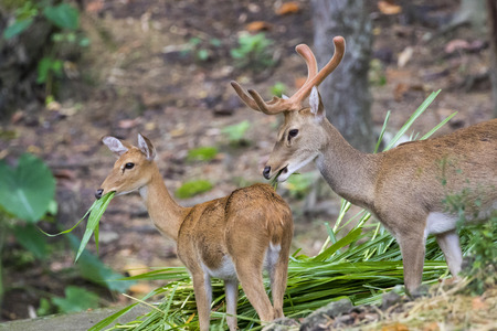 munching: Image of a sambar deer munching grass in the forest. Stock Photo