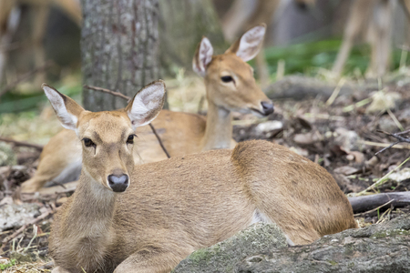 khaoyai: Image of two young sambar deer relax on the ground.