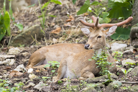 khaoyai: Image of young sambar deer relax on the ground.