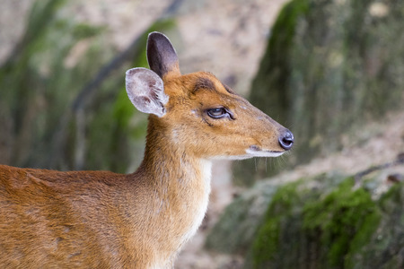 barking: Image of a barking deer on nature background. Stock Photo