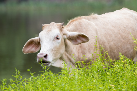 Image of cow on nature background.